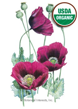 Poppy Lauren's Grape Organic Seeds