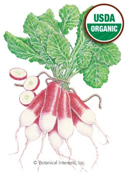 Radish French Breakfast Organic HEIRLOOM Seeds