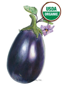Eggplant Black Beauty Organic HEIRLOOM Seeds