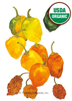 Pepper Chile Habanero Organic HEIRLOOM Seeds