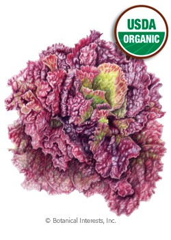 Lettuce Leaf Red Sails Organic Seeds