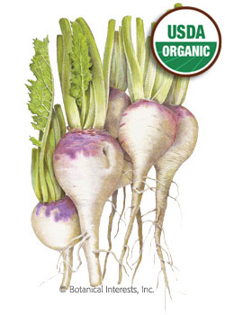 Turnip Purple Top White Globe Organic HEIRLOOM Seeds