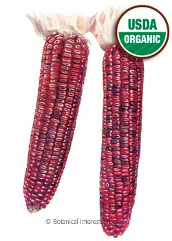 Corn Dent Bloody Butcher Organic HEIRLOOM Seeds