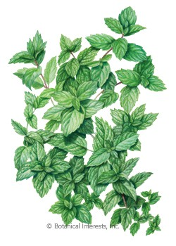 Mint Common HEIRLOOM Seeds