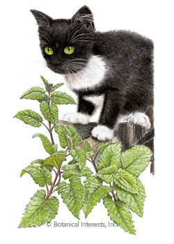 Catnip HEIRLOOM Seeds