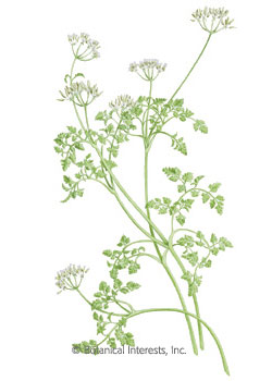 Chervil HEIRLOOM Seeds