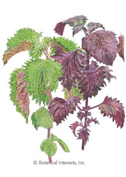 Shiso Perilla Green and Red HEIRLOOM Seeds
