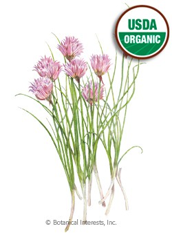Chives Common Organic HEIRLOOM Seeds