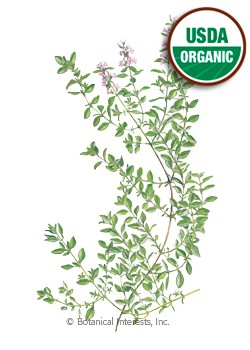Thyme English Organic HEIRLOOM Seeds