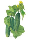 Cucumber Spacemaster Seeds