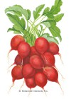 Radish Cherry Belle HEIRLOOM Seeds