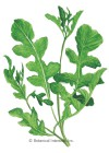 Arugula Rocket Salad HEIRLOOM Seeds