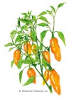 Pepper Sweet Habanada Seeds