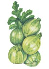 Squash Summer Baby Round Zucchini HEIRLOOM Seeds