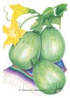 Squash Summer Tatuma (Calabacita) HEIRLOOM Seeds