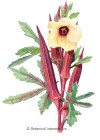 Okra Red Burgundy Seeds
