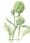 Artichoke Green Globe Improved Seeds