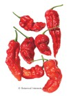 Pepper Chile Ghost, Bhut Jolokia HEIRLOOM Seeds