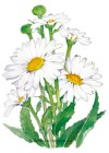 Shasta Daisy Alaska HEIRLOOM Seeds