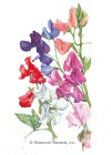 Sweet Pea Knee-High Blend Seeds