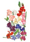 Sweet Pea Royal Blend HEIRLOOM Seeds