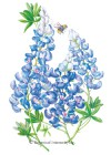 Texas Bluebonnet Seed
