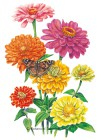 Zinnia California Giants HEIRLOOM Seeds