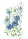 Love-In-A-Mist Miss Jekyll Blend HEIRLOOM Seeds