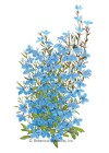 Lobelia Cambridge Blue HEIRLOOM Seeds
