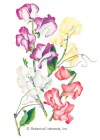 Sweet Pea Perfume Delight HEIRLOOM Seeds