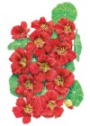 Nasturtium Cherry Rose Jewel Seeds