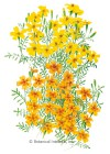 Marigold Signet Lemon/Tangerine Gems HEIRLOOM Seeds