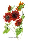 Sunflower Moulin Rouge Pollenless Seeds