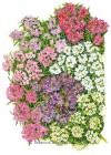 Alyssum Sweet Allure Pastel Blend Seeds