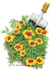 Marigold French Naughty Marietta HEIRLOOM Seeds