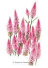Celosia Flamingo Seeds