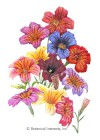 Salpiglossis Superbissima Blend HEIRLOOM Seeds