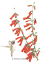 Penstemon Firecracker Seeds