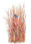 Grass Little Bluestem Seeds