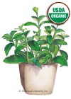 Stevia Organic HEIRLOOM Seeds