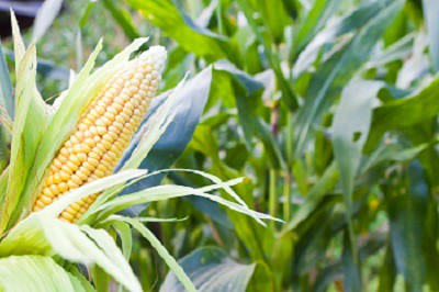 Corn: Sow and Grow Guide
